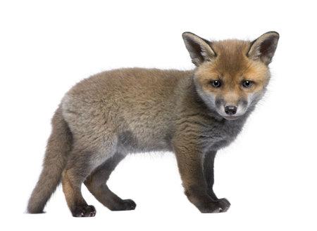 volpe rossa: Cucciolo di volpe rossa, Vulpes vulpes, 6 settimane, in piedi davanti a sfondo bianco, foto
