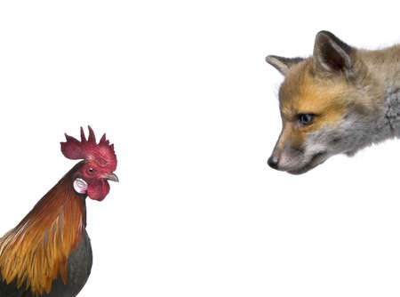 cut off head: Red fox cub looking at rooster in front of white background, studio shot Stock Photo