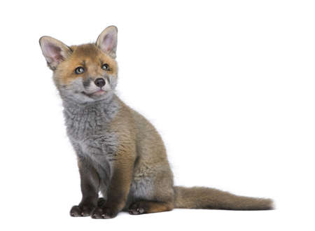 Red fox cub, Vulpes vulpes, 6 weeks old, sitting in front of white background, studio shot photo