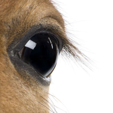 close up eyes: Close-up of Foals eye, 4 weeks old, in front of white background, studio shot Stock Photo