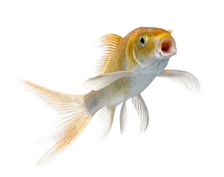 pet photography: orange carp mouth open against white background, studio shot