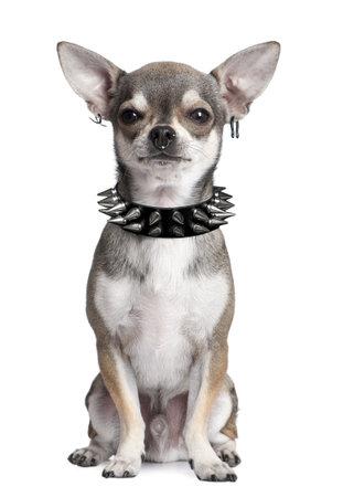 imagen manipulada de un retrato de Chihuahua con piercings de cara y cuello copete sesión en frente de fondo blanco  Foto de archivo