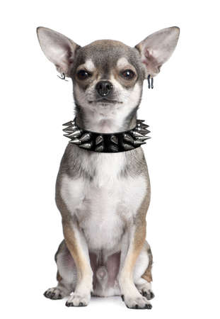 spiked: manipulated image of a Portrait of Chihuahua with face piercings and spiked collar sitting in front of white background
