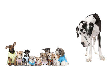 big and small: Large dog looking at small puppies in front of white background, studio shot Stock Photo