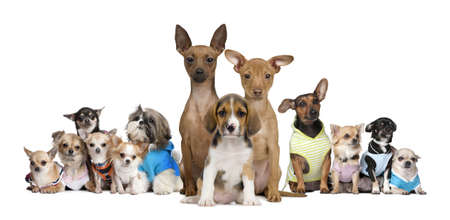 dog sitting: Portrait of small dogs in front of white background, studio shot Stock Photo
