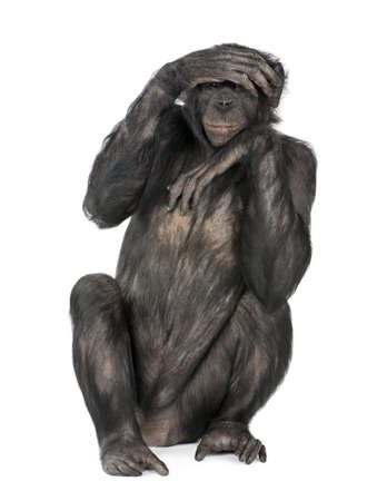 covering eyes: Portrait of chimpanzee with hand on head sitting in front of white background, studio shot.  (Mixed-Breed between Chimpanzee and Bonobo) (20 years old)