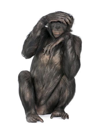 monkeys: Retrato de chimpanc� con la mano en la cabeza sentado delante de fondo blanco, estudio de disparo.  (Mixto-Breed entre chimpanc�s y bonobos) (20 a�os)