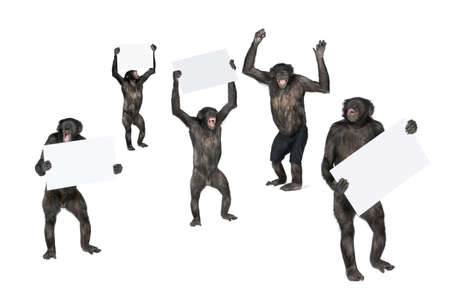 protestor: Portrait of happy chimpanzees holding signs against white background, studio shot; (Mixed-Breed between Chimpanzee and Bonobo) (20 years old)