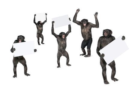 chimpances: Retrato de chimpancés felices celebración firma sobre fondo blanco, estudio disparo; (mixed-Breed entre chimpancés y bonobos) (20 años) Foto de archivo