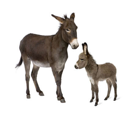burro: Burro, 4 años de edad y su potro, 2 meses de edad, en frente de fondo blanco