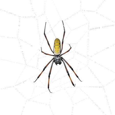 Golden Orb-web spider in spider web, Nephila inaurata madagascariensis, against white background photo