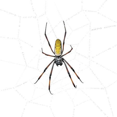 Golden Orb-web spider in spider web, Nephila inaurata madagascariensis, against white background Stock Photo - 5912021