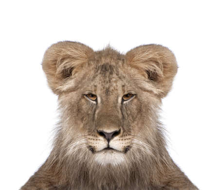 manipulated image of a immature lion in front of white background, studio shot