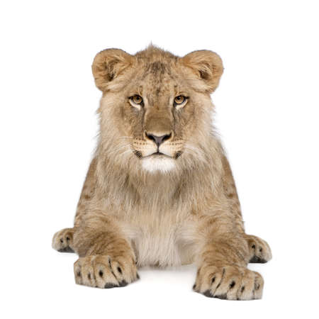 frontal portrait: Portrait of lion cub, Panthera leo, 8 months old, sitting in front of white background, studio shot Stock Photo