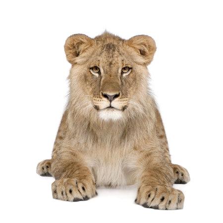 cachorro: Retrato de Le�n cachorro, Panthera leo, 8 meses de edad, sentado delante de fondo blanco, disparo de estudio