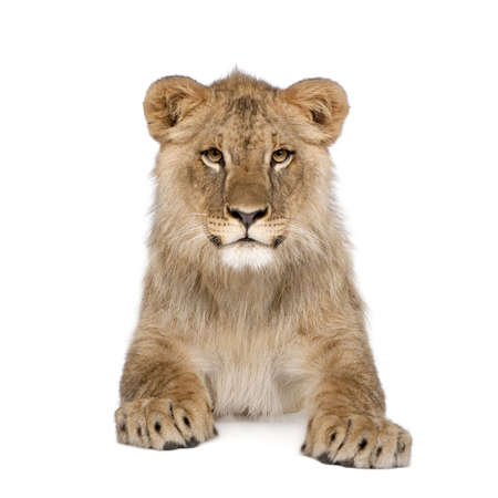 Portrait of lion cub, Panthera leo, 8 months old, sitting in front of white background, studio shot photo