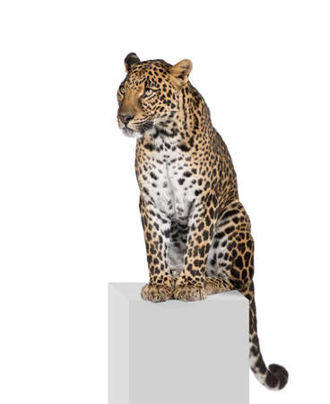 Leopard, Panthera pardus, sitting on pedestal in front of white background, studio shot photo