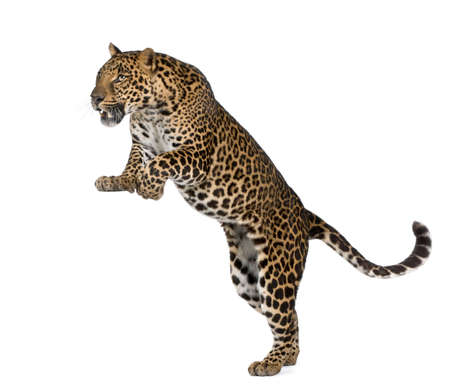 leopard: Leopard, Panthera pardus, in front of white background, studio shot