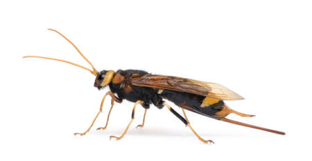 Horntail or wood wasp, Urocerus gigas, in front of white background, studio shot photo