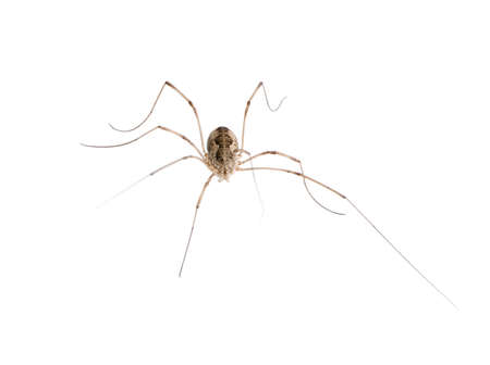 Opiliones spider in front of white background, studio shot Stock Photo - 5911961