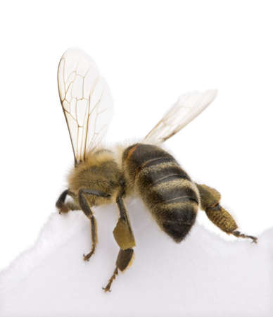 Honeybee in front of white background, studio shot photo