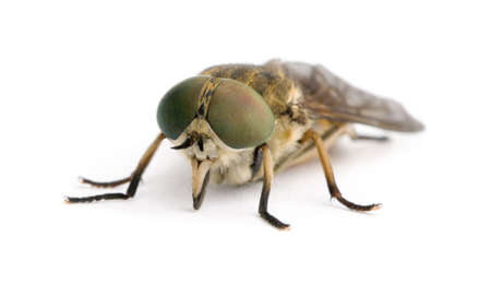 Pale giant horse-fly, Tabanus bovinus, in front of white background, studio shot Stock Photo - 5911945