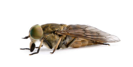 horsefly: Pale giant horse-fly, Tabanus bovinus, in front of white background, studio shot Stock Photo