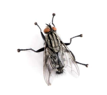 Flesh fly in front of white background, studio shot photo