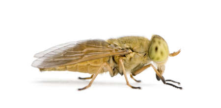 Horse-fly, Atylotus rusticus, against white background, studio shot Stock Photo - 5911959