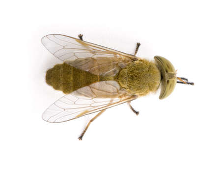 Horse-fly, Atylotus rusticus, against white background, studio shot Stock Photo - 5911962