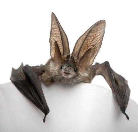 회색 긴 귀가 달리 박쥐, 흰색 배경, 스튜디오 샷 앞의 Plecotus astriacus