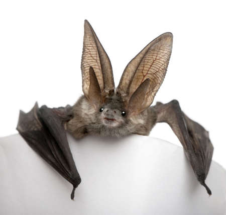 Grey long-eared bat, Plecotus astriacus, in front of white background, studio shot photo