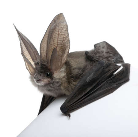 bat animal: Grey long-eared bat, Plecotus astriacus, in front of white background, studio shot