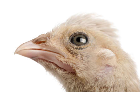 polish chicken: Polish Chicken, 23 days old, in front of a white background, studio shot Stock Photo