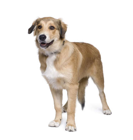 Mixed-breed dog between an Australian Shepherd and Golden Retriever, 5 months old, in front of white background photo