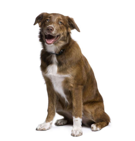 Mixed-breed dog between an Australian Shepherd and Golden Retriever, 5 months old, in front of white background Stock Photo - 5912146