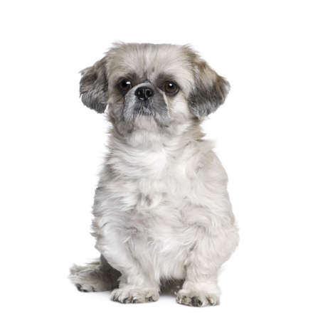 Shih Tzu, 5 years old, sitting in front of white background, studio shot photo