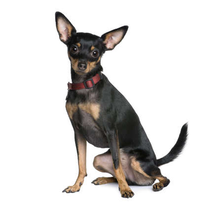 pinscher: Miniature Pinscher, 2 years old, sitting in front of white background, studio shot