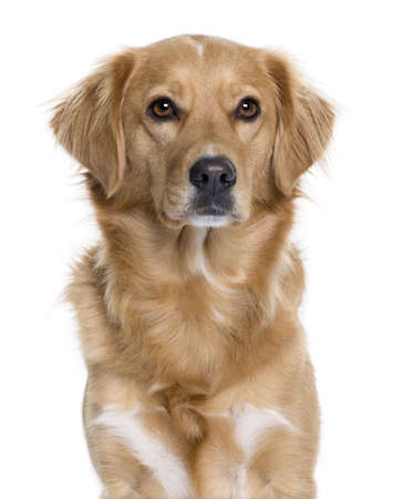 Nova Scotia Duck Rolling Retriever, 5 years old, in front of white background, studio shot  photo