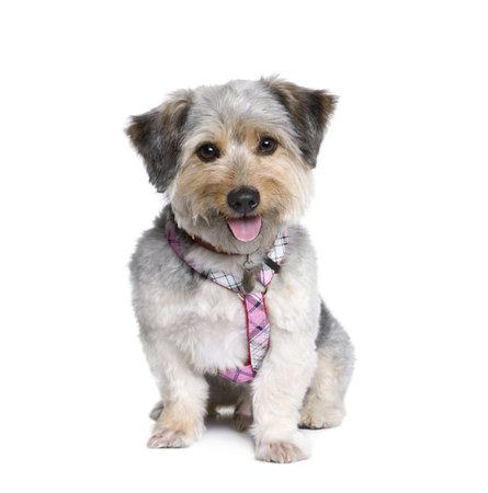 dog on leash: Cruz perro de raza, de 4 a�os de edad, en frente de fondo blanco, estudio de disparo