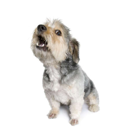 one dog: Cross Breed dog barking, 4 years old, in front of white background, studio shot