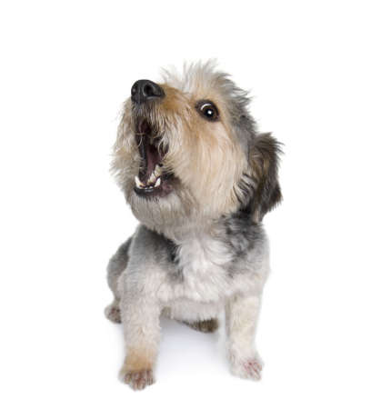�corces: Traverser la race aboiements du chien, 4 ans, en face de fond blanc, studio shot