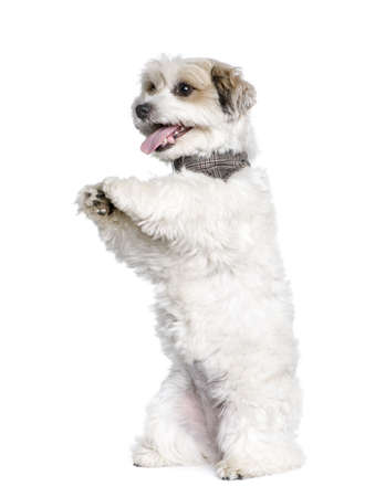 Mixed-Breed Dog between a Bichon and a Jack Russell standing on hind legs, 7 years old, in front of white background photo