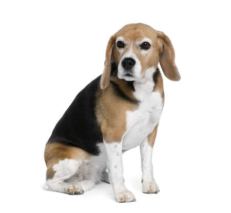 Beagle, 7 years old, sitting in front of white background, studio shot photo