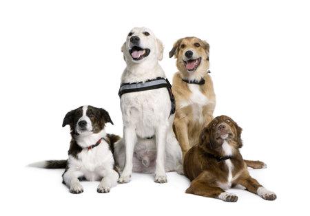 dogs sitting: Grupo de perros bastardos sentado delante de fondo blanco, disparo de estudio Foto de archivo