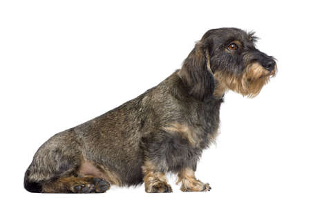 Dachshund, 2 years old, sitting in front of white background, studio shot photo
