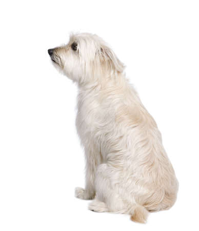 Pyrenean Shepherd, 2 years old, sitting in front of white background, studio shot photo