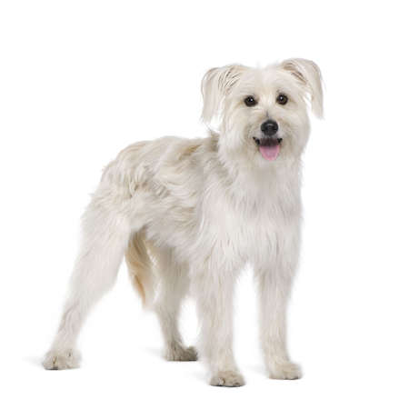pyrenean: Pyrenean Shepherd, 2 years old, sitting in front of white background, studio shot Stock Photo