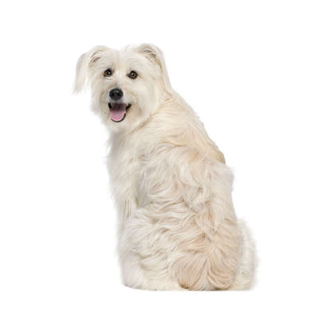 pyrenean: back view of a Pyrenean Shepherd, 2 years old, sitting in front of white background, studio shot