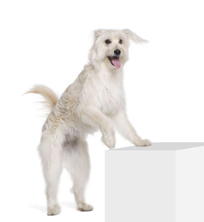Pyrenean Shepherd, 2 years old, standing near pedestal in front of white background, studio shot Stock Photo - 5912128